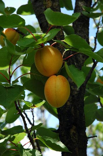 albicocca-vitillo