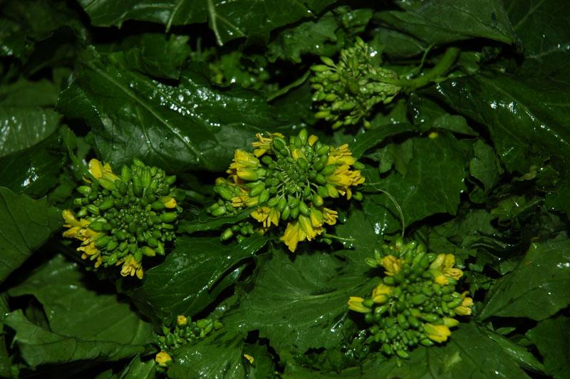 broccolo-friariello-di-napoli