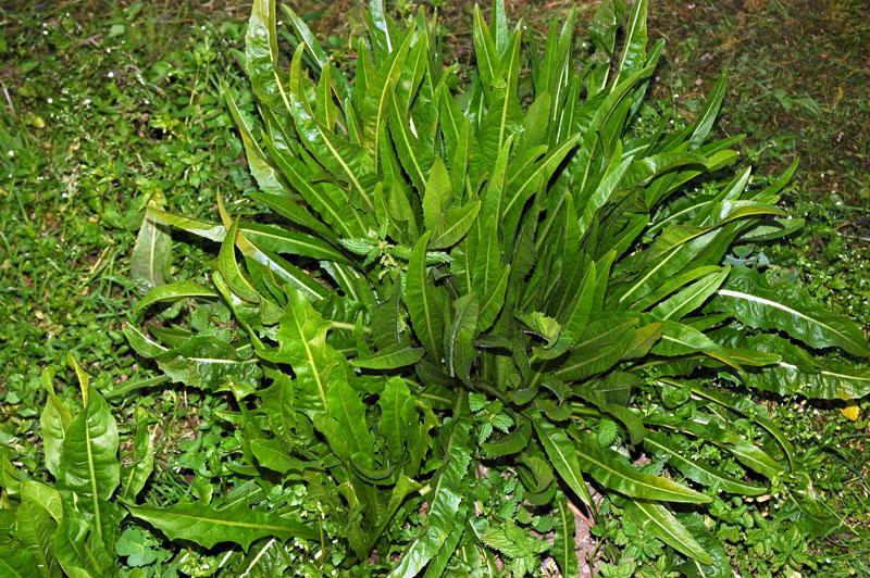 cicoria-verde-di-napoli