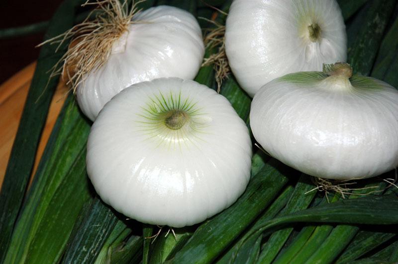 cipolla-bianca-pompei